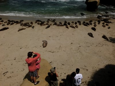 Seals at La Jolla