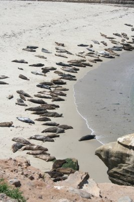 Sea lions at La Jolla