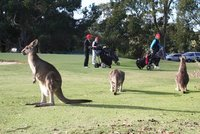 Kangaroos at Anglesea Golf Club