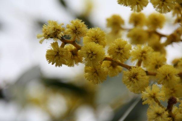 Wattle Flower