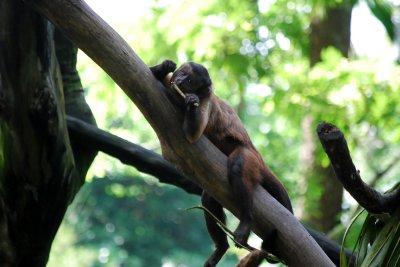 Singapore Zoo - Brown Capuchin Monkey