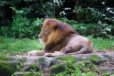 Singapore Zoo - Lions