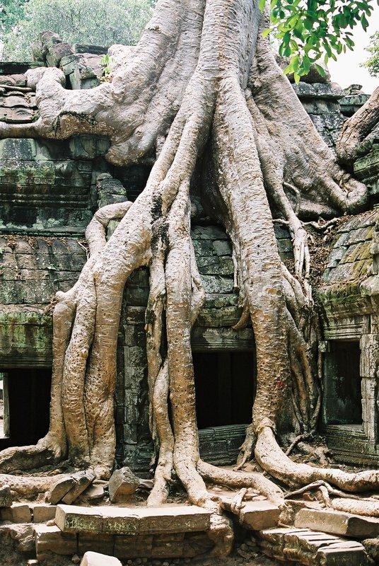trees of Siem Reap