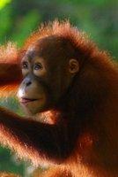 Orangutangs in Borneo