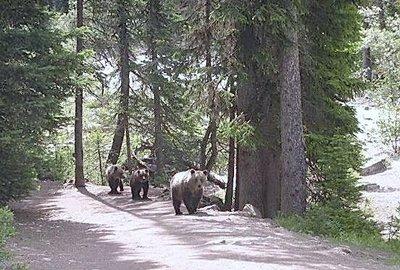 bears at Lake Louise