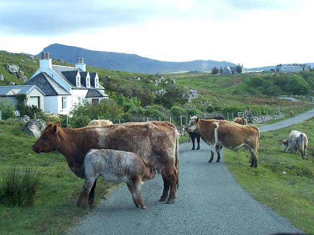 Skye - cows