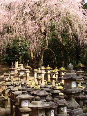 Cherry tree and lanterns