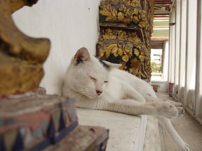 THAI - Temple cat