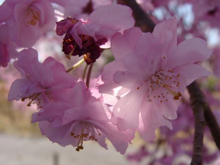 CHERRY - Blossom