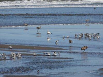 April_17_-.._Shorebirds.jpg