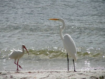 Day129 - Ibis & Great Egret