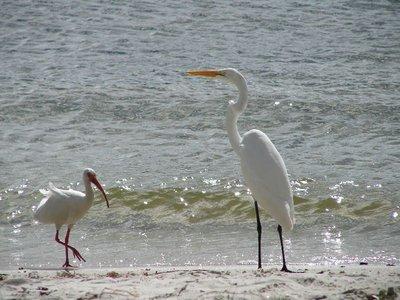 Day129 - Ibis & Great Egret