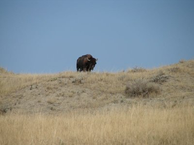 Day 11 - Badlands Bison