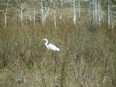 Day 123 - Everglades, Egret & Bald Cypress