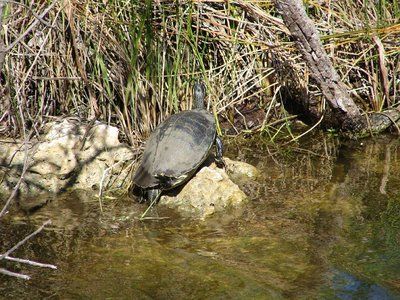 Day 123 - Everglades, Turtle