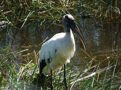 Day 123 - Everglades, Wood Stork