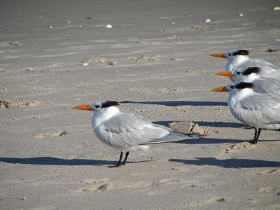 Day 130 - Ft Pierce Beach, Royal Terns