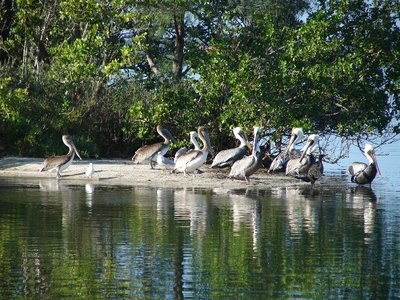 Day 131 - Brown Pelicans