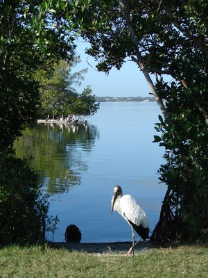 Day 131 - Wood Stork & Brown Pelicans