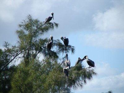 Day 131 - Pelicans in Trees