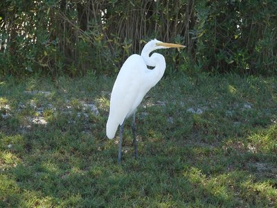Day 131 - Great Egret