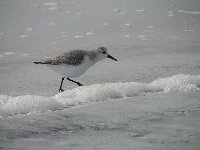 Day 138 - Cape San Blas, Sm Surf Bird
