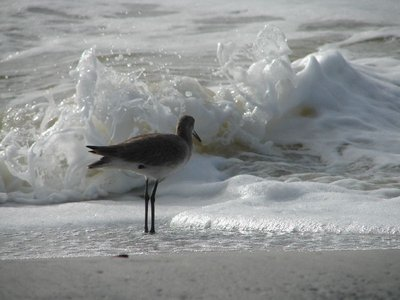 Day 138 - Cape San Blas, Surf Bird