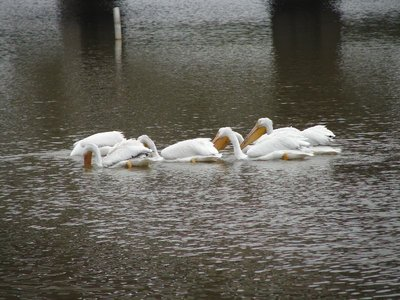 Day 144 - White Pelicans Feeding