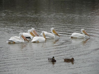 Day 144 - White Pelicans