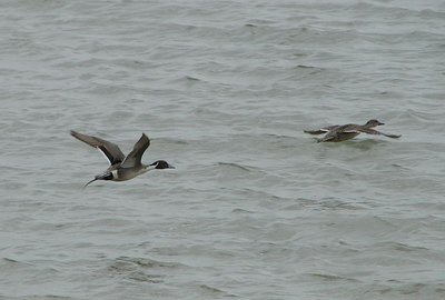 Day 150 - Northern Pintail Ducks Flying