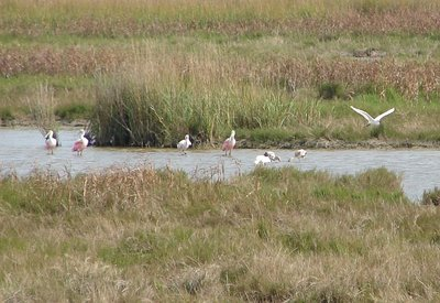 Day 150 - Roseate Spoonbills & Egret