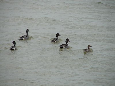 Day 150 - Northern Pintail Ducks