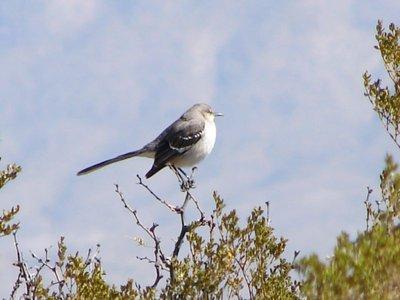 Day 158 - Gray or Dusky Flycatcher
