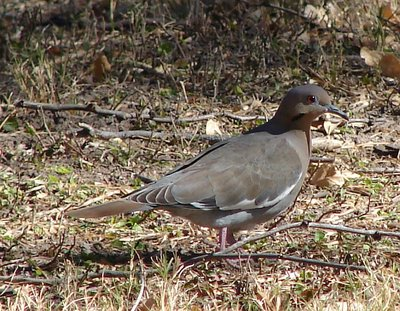 Day 158 - Big Bend, White Winged Dove