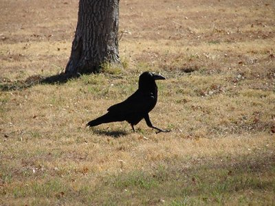 Day 158 - Big Bend, Chihuahuan Raven