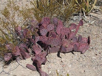 Day 159 - Big Bend, Purple Prickly Pear Cactus