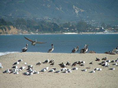 Day 177 - Santa Barbara, Pelicans & Seagulls