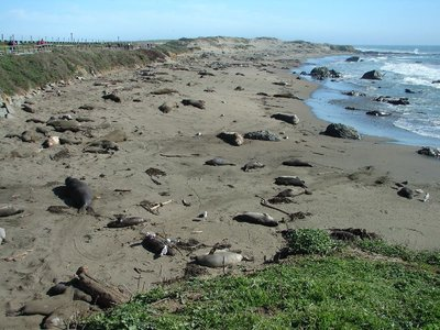 Day 180 - Elephant Seals on Beach