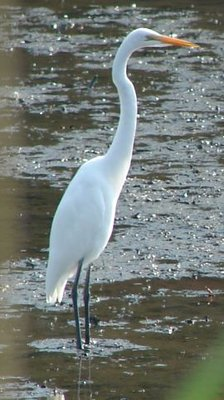 Day 34 - Egret in Tidewaters