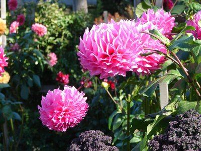 Day 58 - Topiary Gardens, Dahlia