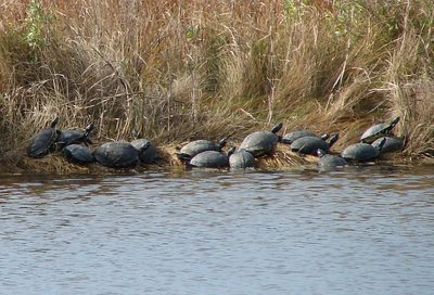 Day 99 - Pea Island NWR, Yellow Bellied Slider Turtles