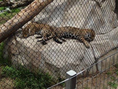 Jaguar Twins 2
