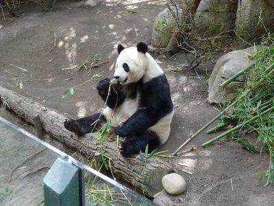 Panda - Mom