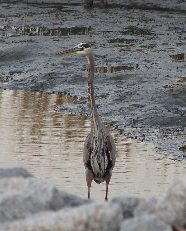 Day_103_-_HB, Heron