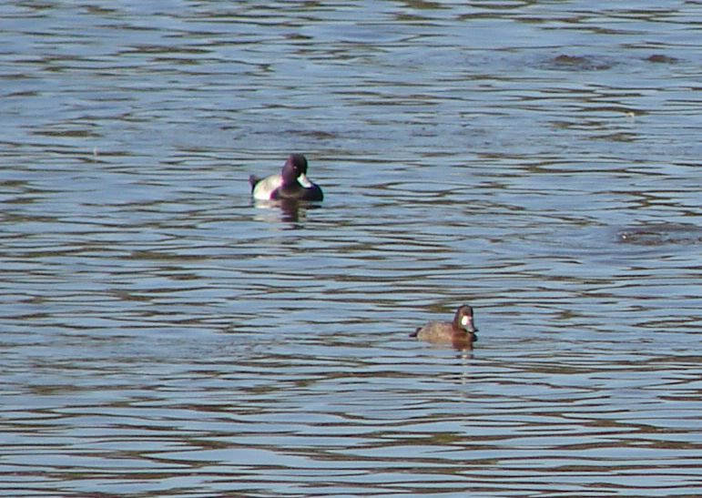 Day_104_-_HB, Ducks