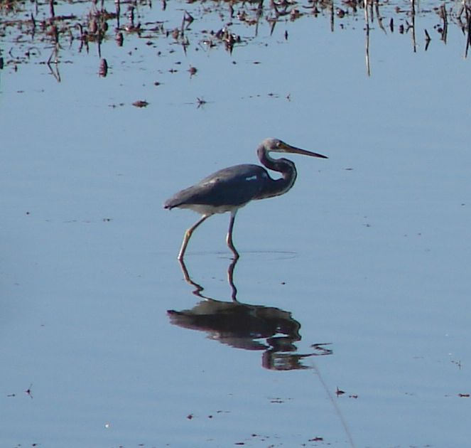 Day_104_-_HB, Tricolor Heron