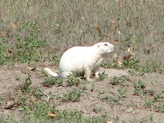 Day 11 - White Prairie Dog
