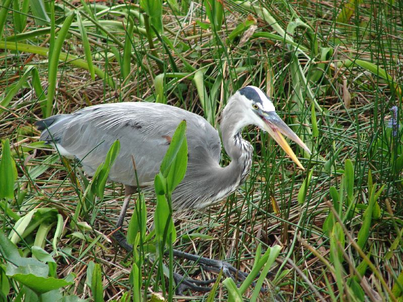Day 122 - Everglades, Great Blue Heron