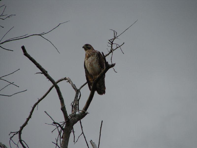 Day 122 - Everglades, Red Shouldered Hawk