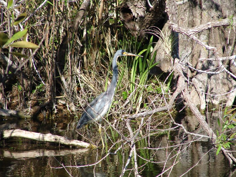 Day 123 - Everglades, Tricolored Heron